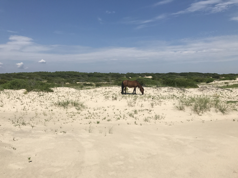 Outer-Banks-North-Carolina-Wild-Horses-of-Corolla
