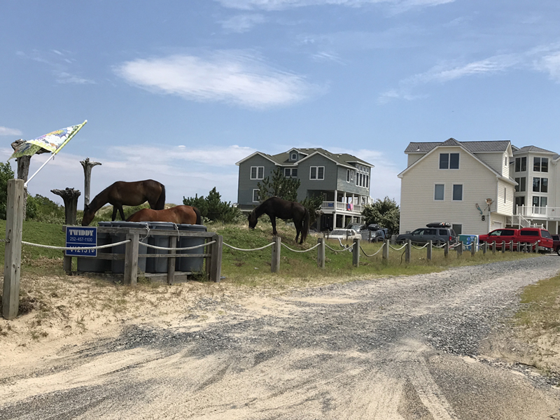 Outer-Banks-North-Carolina-Wildpferde-Outer-Banks